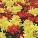 Order your Tulip bulbs now