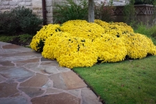 Yellow chrysanthemums