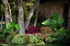 Impatiens, coleus, and elephant ears in shade garden