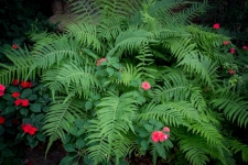 Ferns and impatiens